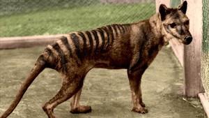 Imagen de archivo de un tigre de Tasmania.