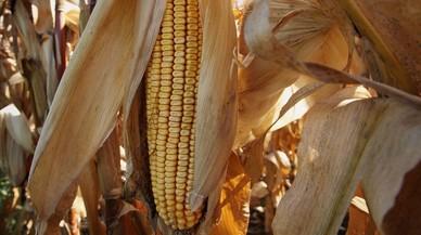 Una mazorca en un campo de maíz del estado estadounidense de Illinois.