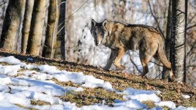 Polèmica a Itàlia pel pla del Govern de caçar els llops