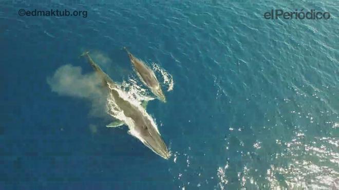 Una balena alleta la seva cria davant de la costa del Garraf