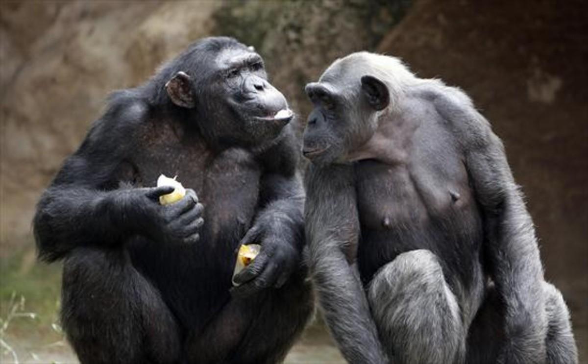 Chimpancés del Zoo barcelonés.