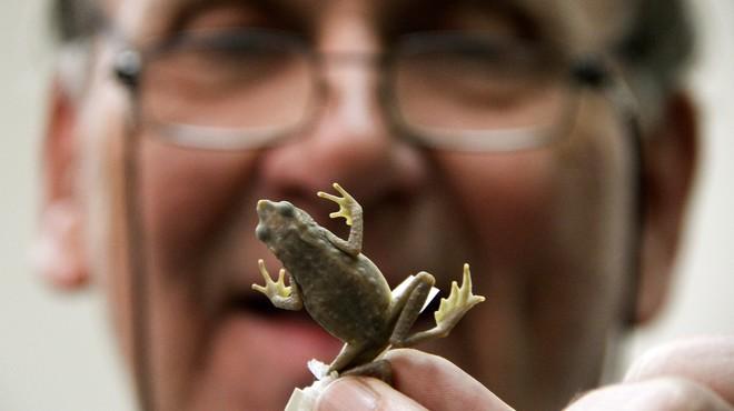 Un biòleg descobreix una nova espècie de granota i la bateja amb el nom de les FARC