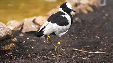 Gamberrada al zoo: obren gàbies d'ocells i s'escapen diversos exemplars