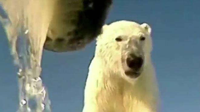 Un oso polar filma el comportamiento de otro oso polar