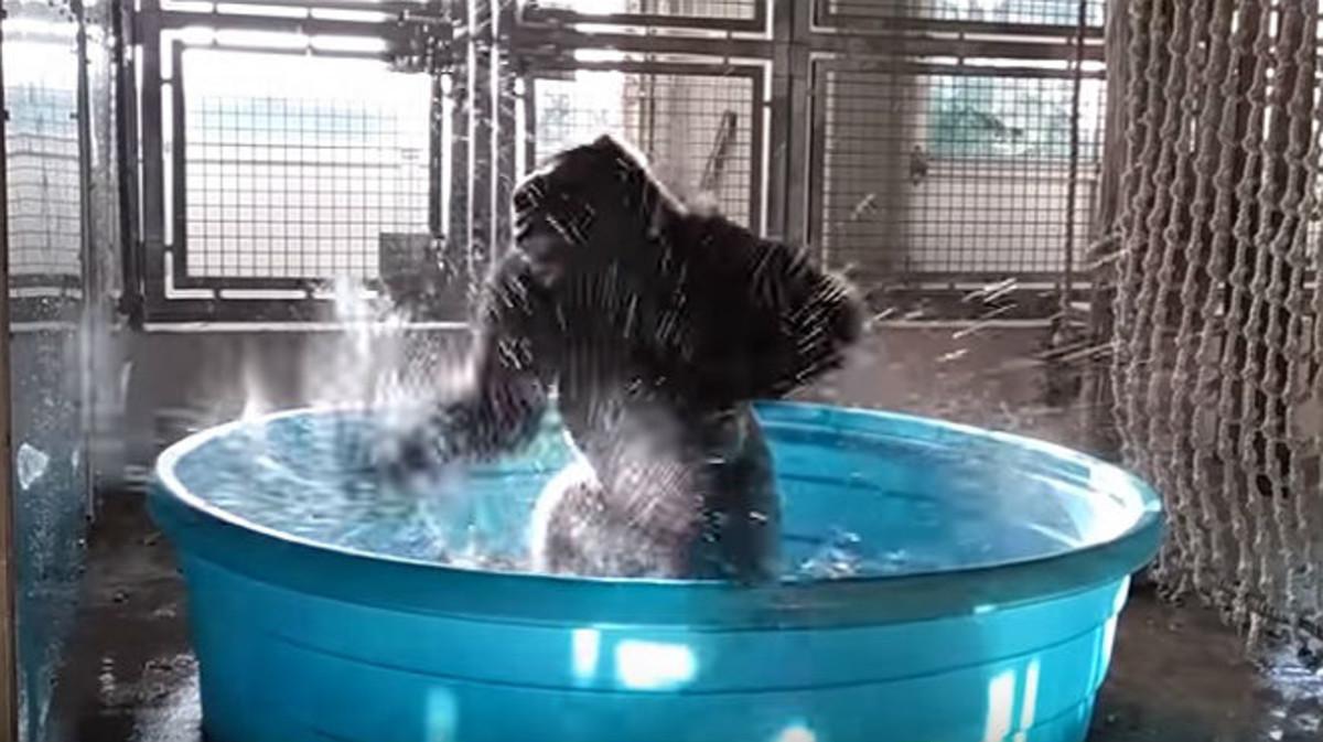 El gorila Zola, en una escena del vídeo que ha distribuido el Zoo de Dallas.