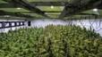'Made in Washington', la marihuana que se cultiva a dos pasos de la Casa Blanca