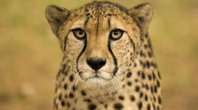 El guepard corre veloç cap a l'extinció