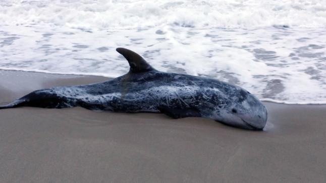 Aparece varado un calderón vivo en la playa de Sant Salvador