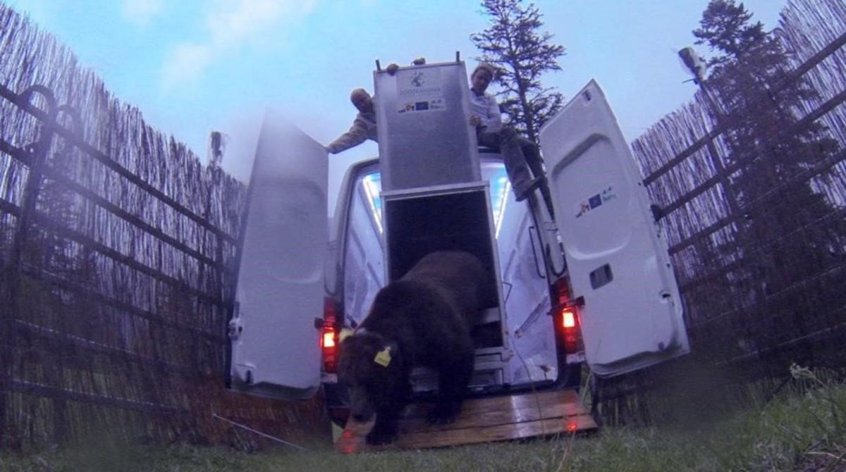La Generalitat libera un nuevo oso esloveno en el Pirineo
