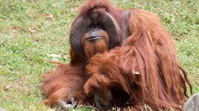 Mor Chantek, el 'simi que va anar a la universitat'