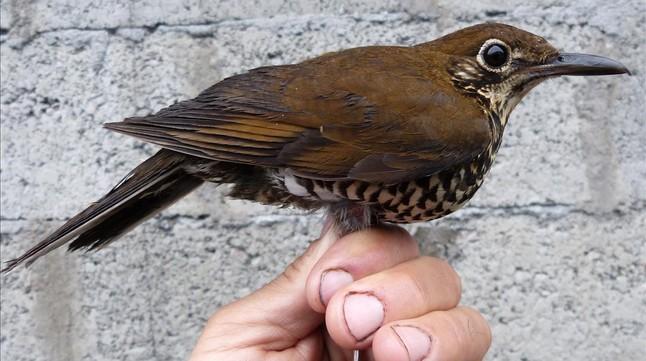 amadridejos32489531 sociedad nueva especie de ave descubierta tordo o160121201012