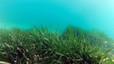 Neix a Matar� 'Posid�nia 2021', una iniciativa per protegir la posid�nia oce�nica