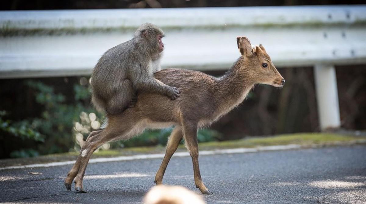 Un intento de cópula de un macaco japonés sobre una hembra de ciervosika.
