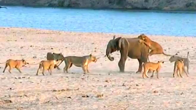 El v�deo de la �pica lucha entre el elefante y los 14 leones.
