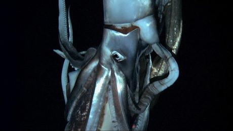 Calamar gigante a la vista