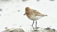 Eurynorhynchus pygmeus (correlimos cuchareta). Pequeña ave cuyas que cría en Rusia oriental y luego migra 8.000 kilómetros para pasar el invierno en Bangladesh y Myanmar. Graves problemas de hábitats en sus zonas de invernada. Sus poblaciones se han reducido un 25% en la última década. Población estimada: menos de 100 parejas.