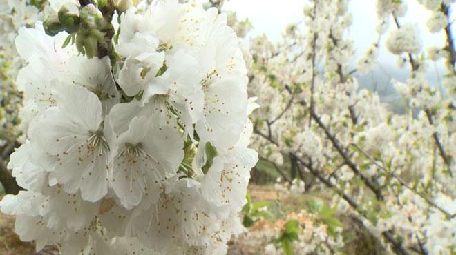 Cirerers en flor a la vall del Jerte