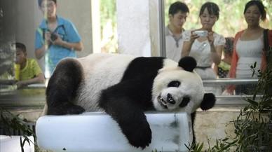 Hagan sitio a los pandas