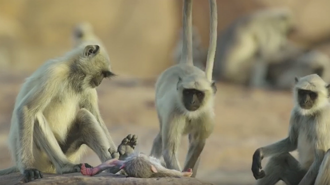 Un vídeo de la BBC mostra com ploren uns micos la mort d'una cria