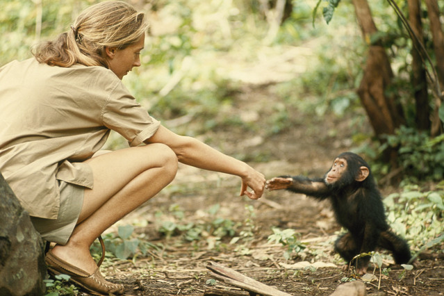 La primat�loga inglesa Jane Goodall en la reserva de chimpanc�s de Gombe Stream, en Tanzania.
