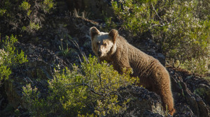 Un oso pardo, en una de las imágenes del documental Cantábrico