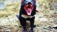 Los diablos de Tasmania se recuperan de un c�ncer letal