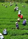 Una plantaci�n de t� en Vietnam.