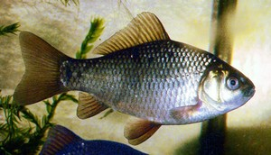 carpa-crucian-wikipedia