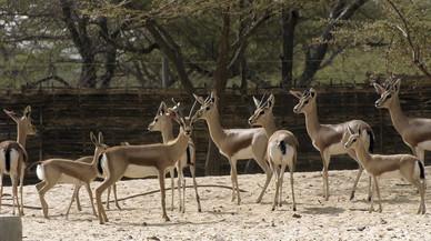 Nacen 6 crías de gacela en el Zoo de Barcelona para repoblar el Sahel
