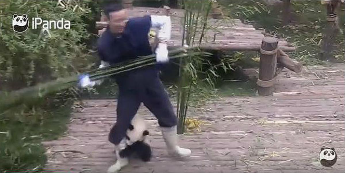 El insistente abrazo de un cachorro de panda impide trabajar a su ciudador.