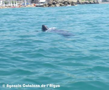 Avistan la tortuga más grande del mundo en la costa barcelonesa