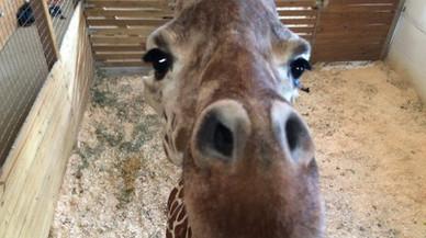 La jirafa April mira a la cámara que retransmite su parto.