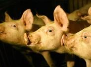El experimento consiste en inyectar c�lulas madre humana en embriones porcinos.