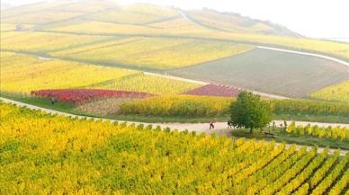 La tardor plena de color a les vinyes deRüdesheim(Alemanya).