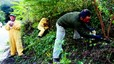 Collserola combate una plaga de árboles de origen asiático