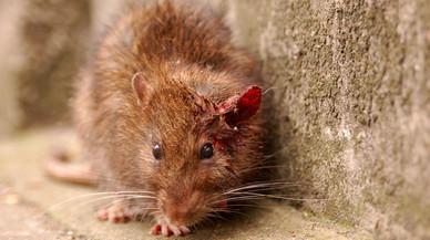 Una rata,