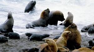 Leones marinos.