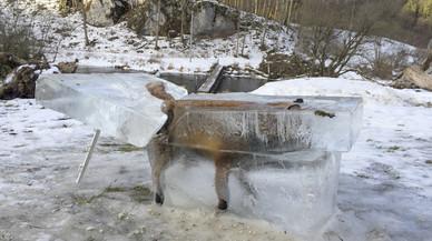 Una guineu congelada, insòlita imatge del fred a Europa