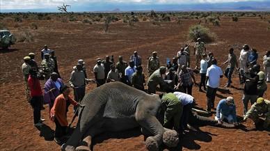 Veterinarios del Fondo Internacional para el Bienestar de los Animales (IFAW) estánestudiando a loselefantes machos de la región de Amboseli para entender mejor sus rutas migratorias.