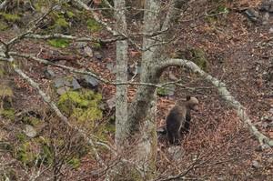 Operativo para capturar a un oso herido en Cantabria