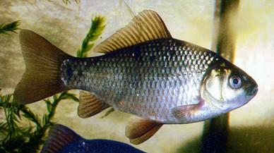 Desvelado el secret d'un peix que destil·la alcohol per sobreviure a l'hivern sense oxigen