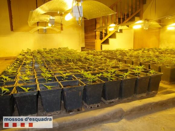 Plantación de marihuana localizada en una urbanización de Alcover.