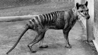 El 'retorn' del llop de Tasmània
