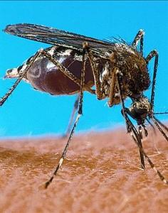 Un mosquito 'Aedes aegypti'.
