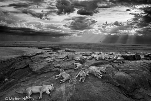 Leonas y sus cachorros en el Serengeti, ganadora del Wildlife Photographer of the Year.