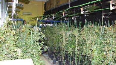 Cultivo de marihuana encontrado en el interior de una nave industrial en Sabadell.