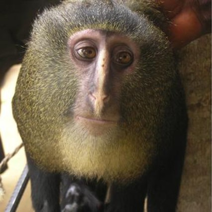 Descubierto el lesula, una nueva especie de mono en los bosques del Congo