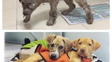 """Un gos submergit en pega """"per diversió"""" es recupera miraculosament"""