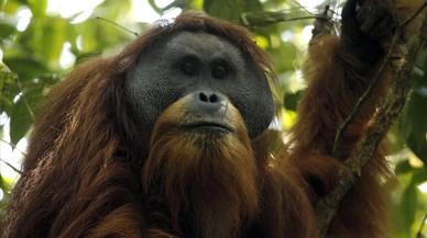 Identificada una nova espècie d'orangutan a Sumatra