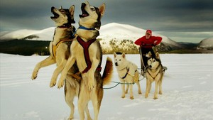 abertran462663 a huskie dog team enjoy the snow outside aviemore in scotlan170802091350
